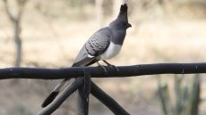 White-bellied Go-away Bird