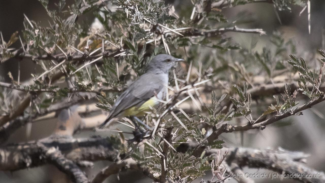 Yellow-bellied Eremomela