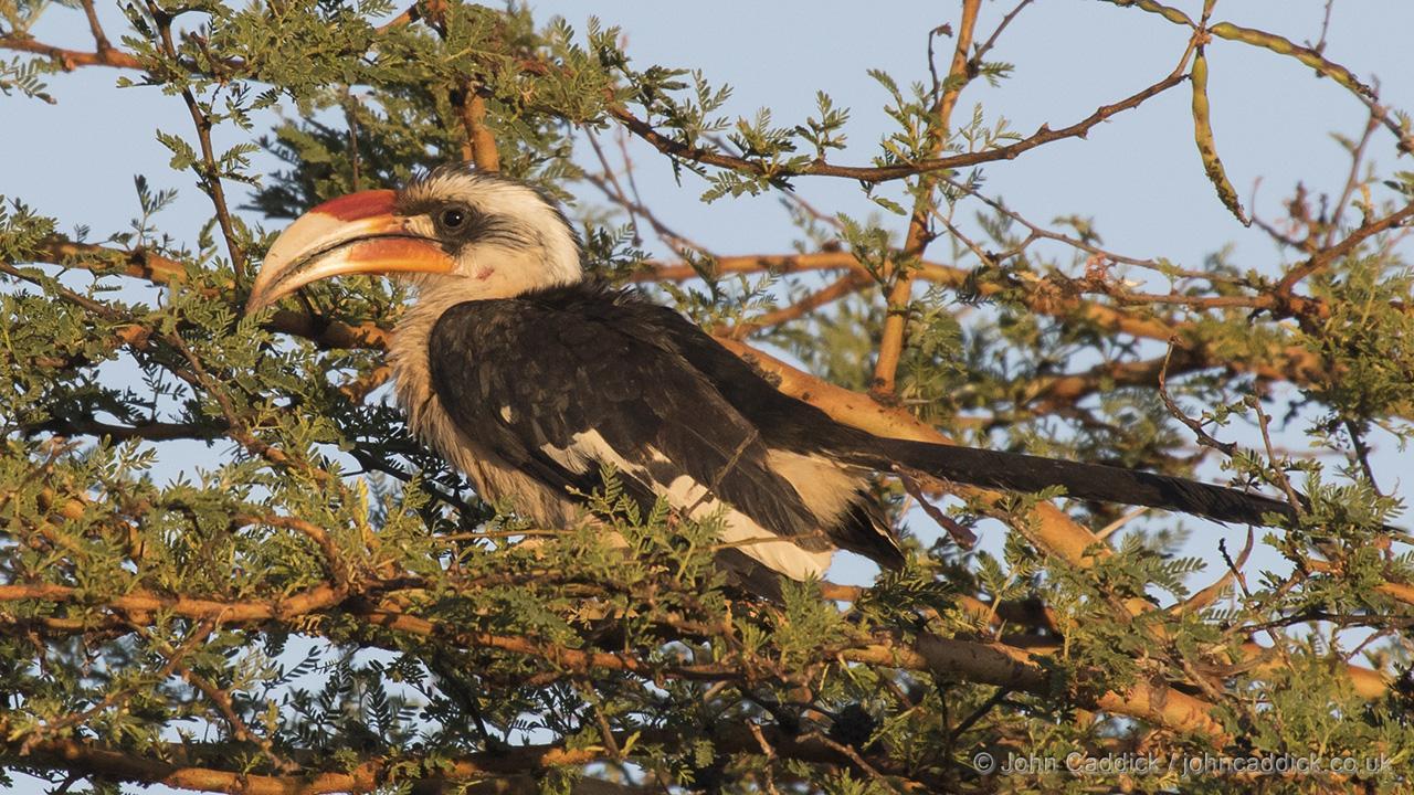 Von der Decken's Hornbill male