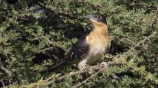 Great Spotted Cuckoo juvenile