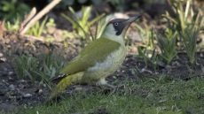 European Green Woodpecker female