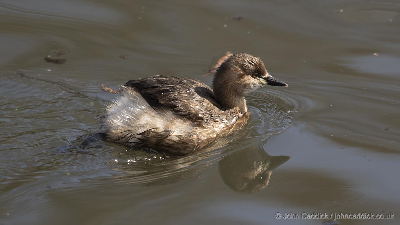 Little Grebe non-breeding