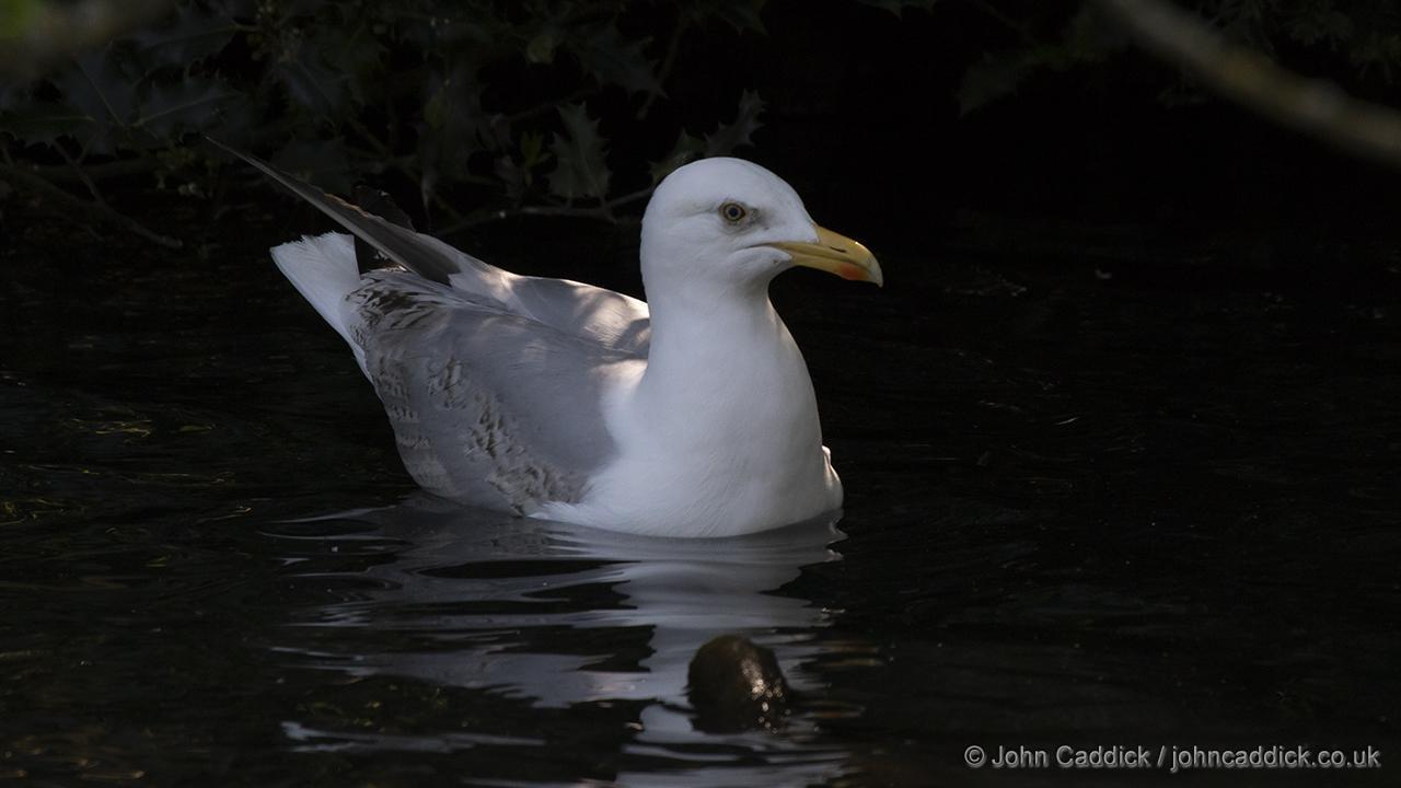 European Herring Gull sub-adult