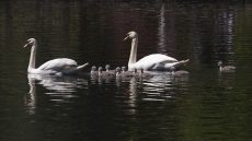 Adult Mute Swans with cygnets