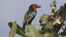 Black-billed Barbet
