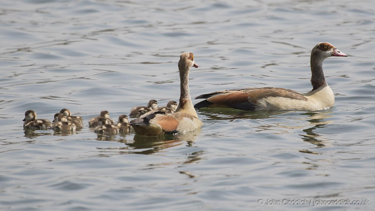 Egyptian Geese and family