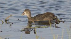 Red-knobbed Coot juvenile