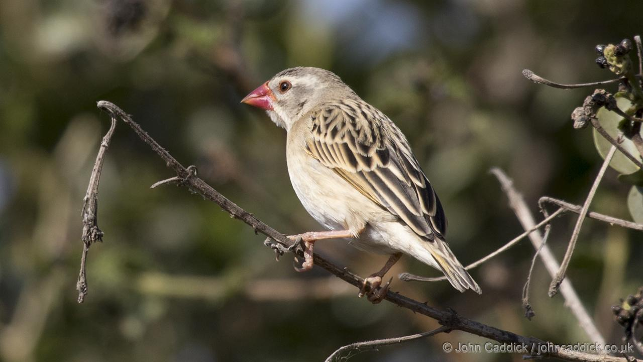 Red-billed Quelea non-breeding