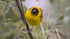 Ruppell's Weaver male