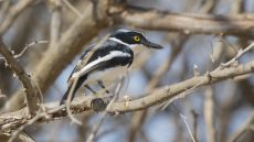 Grey-headed Batis