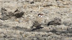 Chestnut-headed Sparrow-Lark male