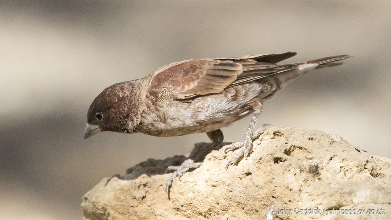 Chestnut Sparrow