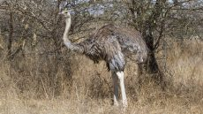 Somali Ostrich female