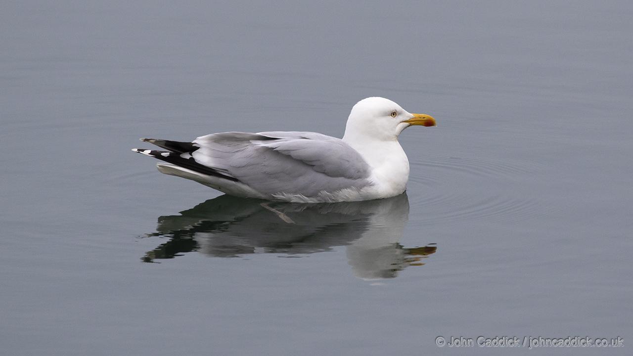 European Herring Gull adult