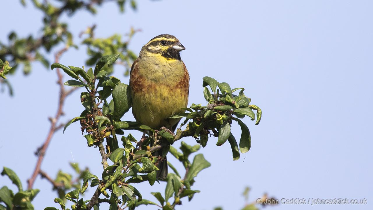 Cirl Bunting breeding male