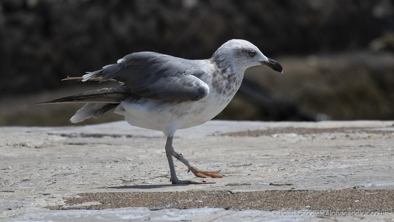 Yellow-legged Gull immature
