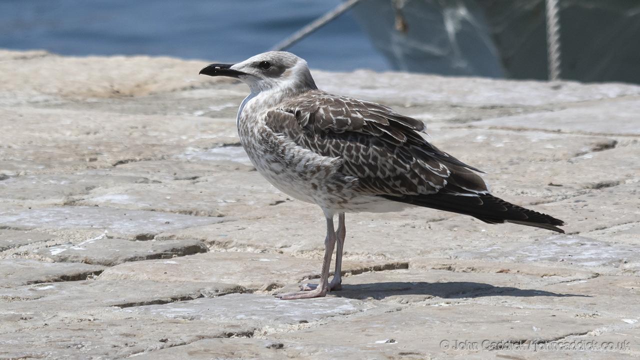 Yellow-legged Gull juvenile