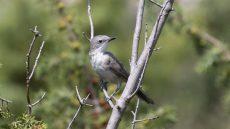 Eastern Orphean Warbler juvenile