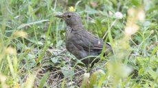 Common Blackbird female