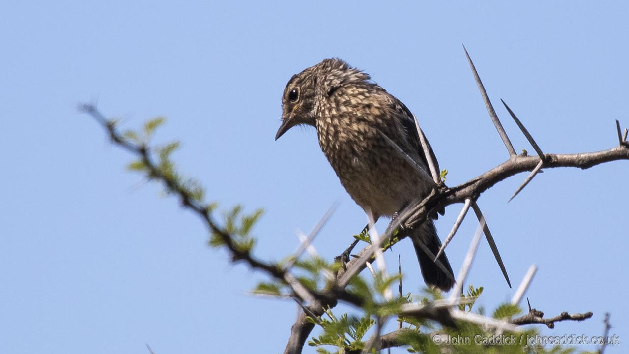 African Stonechat juvenile