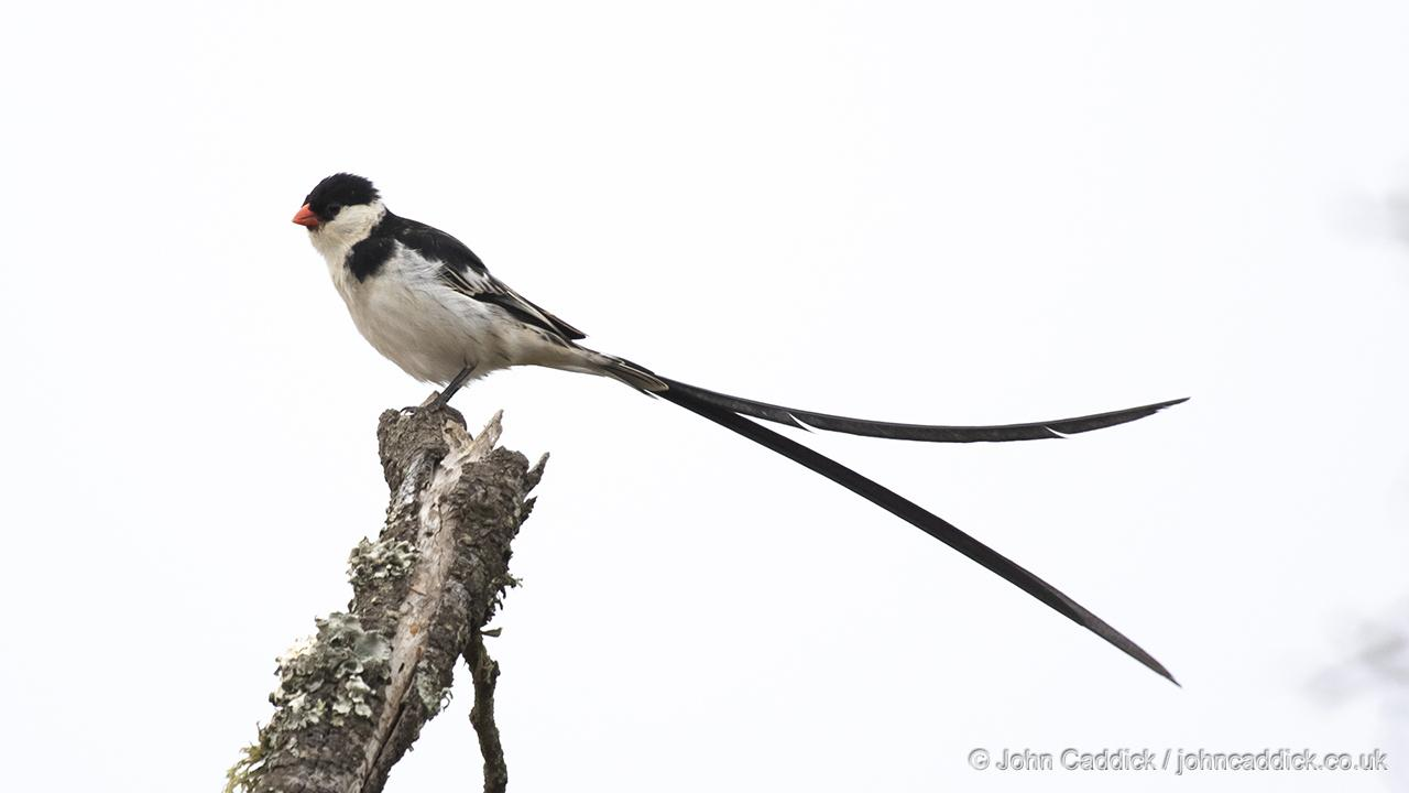 Pin-tailed Whydah adult male