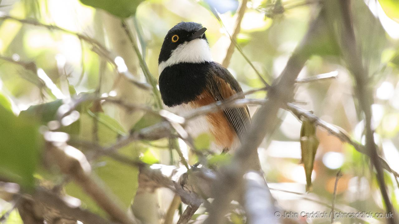 Cape Batis male