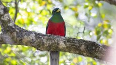 Narina Trogon male