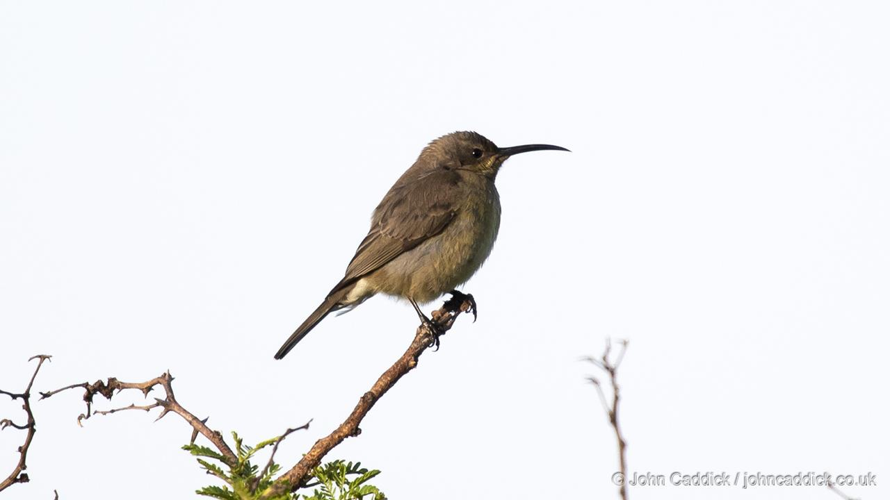 Greater Double-collared Sunbird female