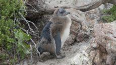 African Penguin juvenile