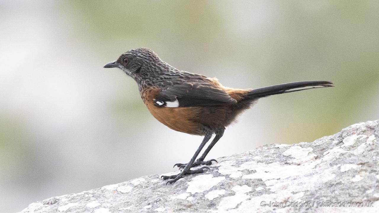 Cape Rockjumper female