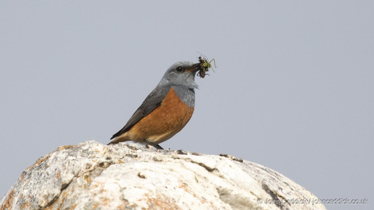 Sentinel Rock Thrush male