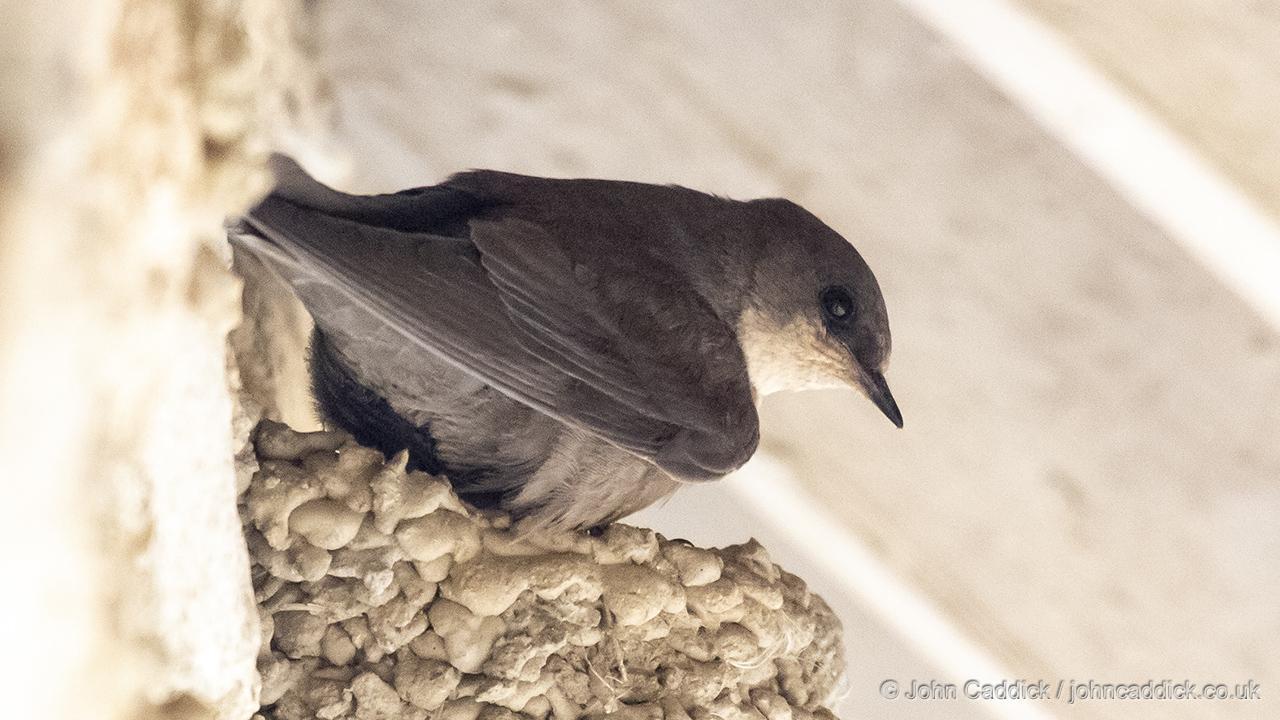 Rock Martin on nest