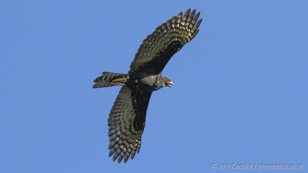 Black Sparrowhawk