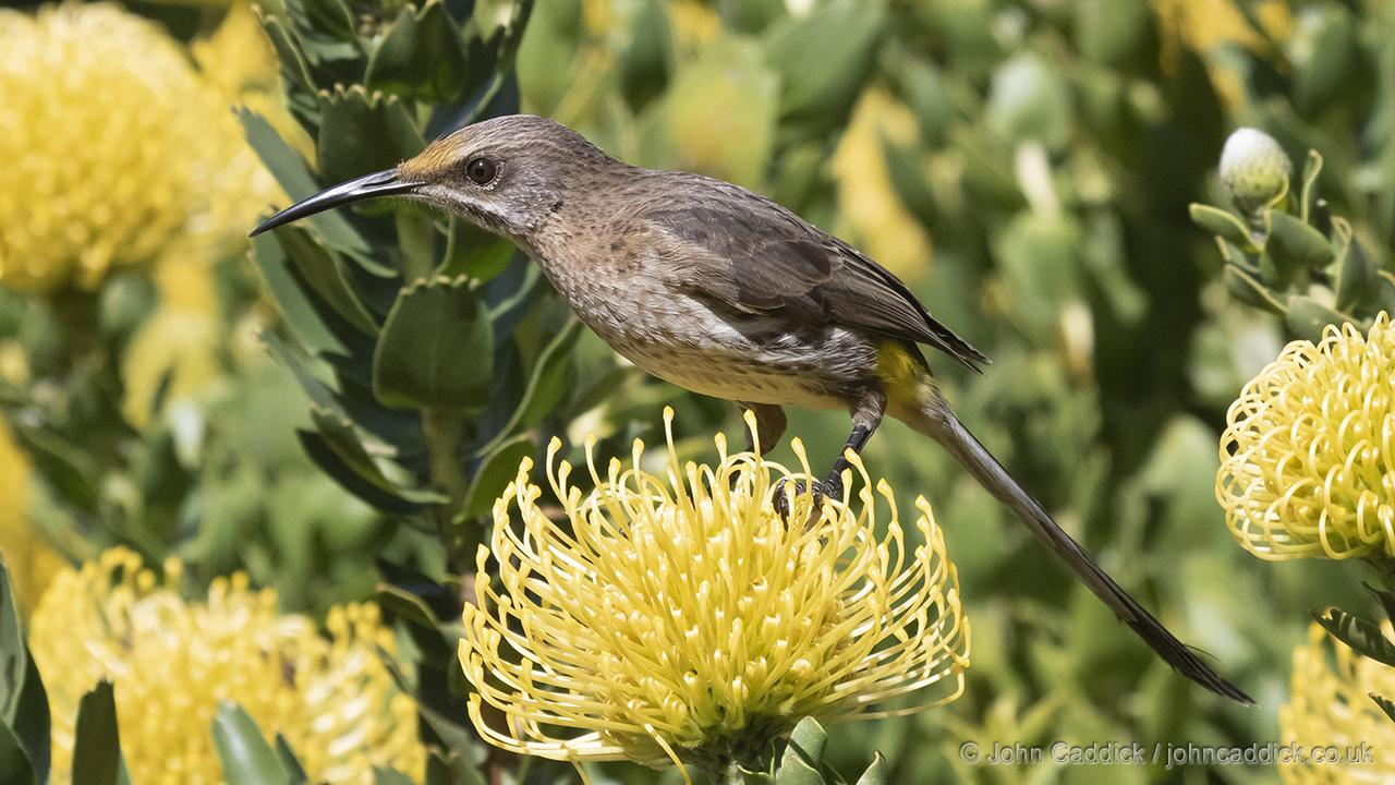 Cape Sugarbird