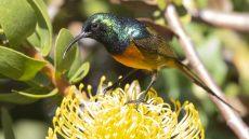 Orange-breasted Sunbird male