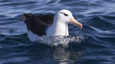 Black-browed Albatross adult