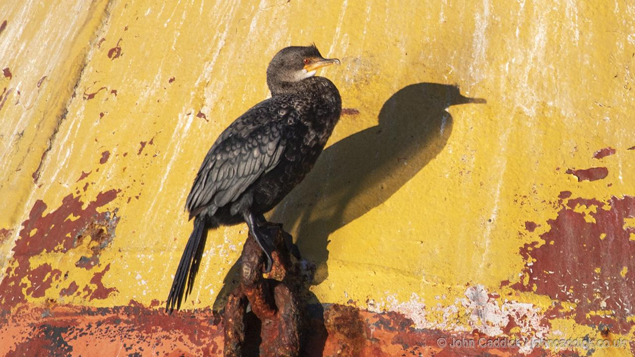 Crowned Cormorant