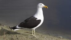 Kelp Gull adult