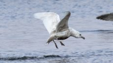 Iceland Gull second winter