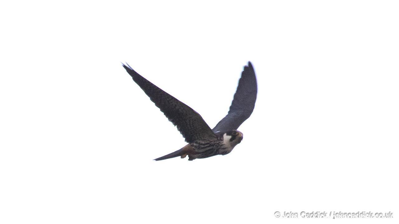 Eurasian Hobby adult in flight