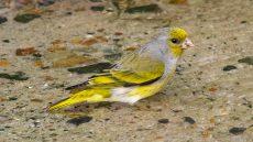 Cape Canary male