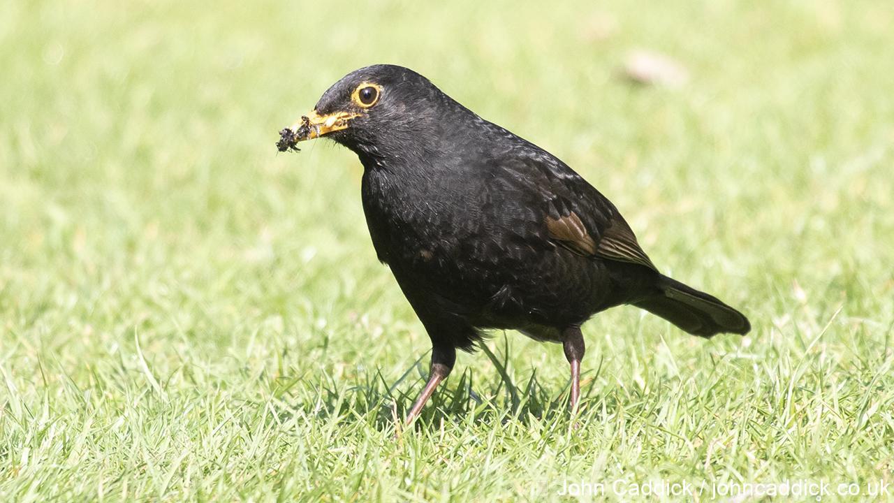 Common Blackbird male