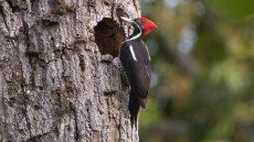 Lineated Woodpecker female