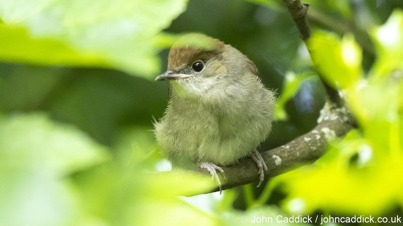 Eurasian Blackcap juvenile