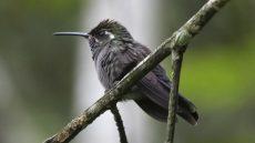 Amethyst-throated Mountaingem female