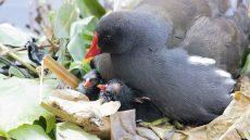 Common Moorhen on nest