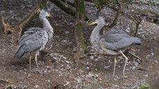 Juvenile Grey Herons
