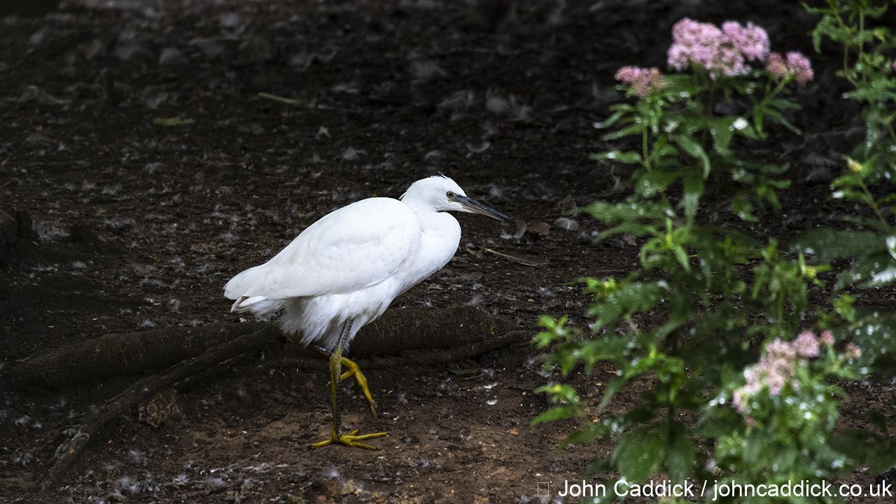 Little Egret juvenile
