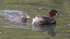 Little Grebe adult and juvenile