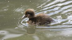 Tufted Duck juvenile